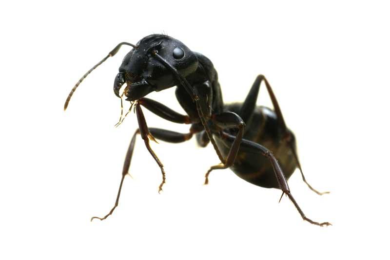 Carpenter Ant Pest Control and Extermination