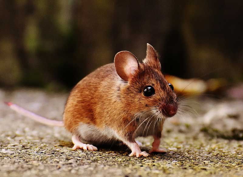 Mouse Control and Extermination in Ann Arbor and Detroit Michigan